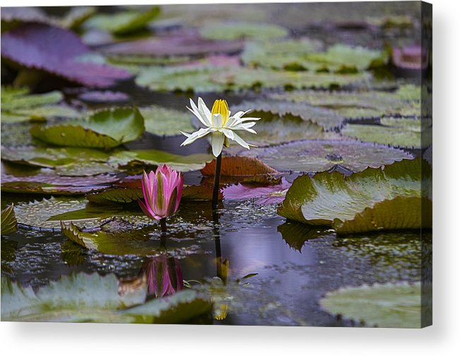 Water Lilly Acrylic Print featuring the photograph Water Lillies9 by Charles Warren