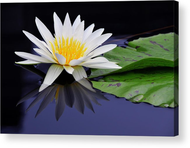Flower Acrylic Print featuring the photograph Water Lily by Dan Myers