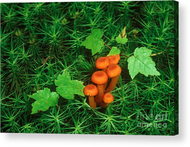 Waxy Cap Acrylic Print featuring the photograph Wax Cap Fungi by Jeff Lepore