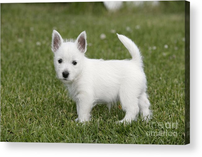 West Highland White Terrier Acrylic Print featuring the photograph West Highland White Terrier Puppy by Rolf Kopfle