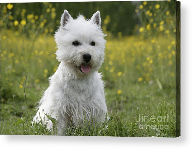 West Highland White Terrier Acrylic Print featuring the photograph West Highland White Terrier by Rolf Kopfle