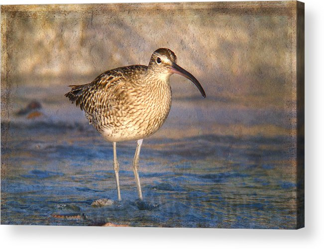 Animal Acrylic Print featuring the photograph Whimbrel Numenius Phaeopus At Sea by Perry Van Munster