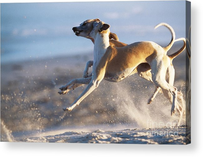 Whippet Acrylic Print featuring the photograph Whippet Dogs Fighting by Chris Harvey