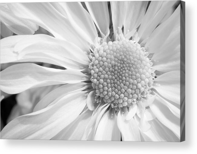 3scape Acrylic Print featuring the photograph White Daisy by Adam Romanowicz