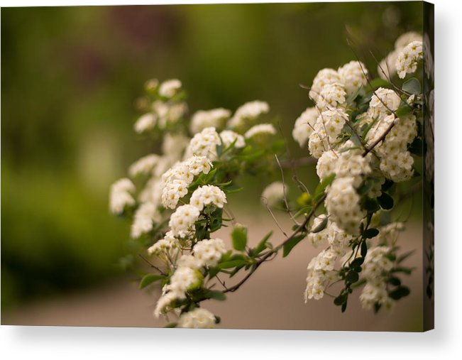 White Acrylic Print featuring the photograph White Flower In The Tree by Stupinean Dan Adrian