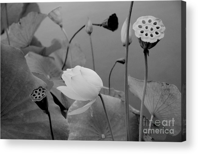 Nature Acrylic Print featuring the photograph White Lotus Flowers In Balboa Park San Diego by Julia Hiebaum