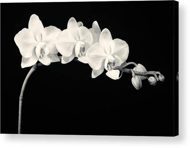3scape Photos Acrylic Print featuring the photograph White Orchids Monochrome by Adam Romanowicz