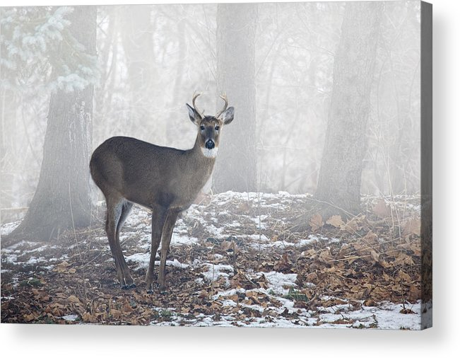 Art Acrylic Print featuring the photograph White Tailed Deer Buck In The Mist by Randall Nyhof