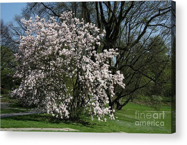 Tree Acrylic Print featuring the photograph White Tulip Tree by Christiane Schulze Art And Photography