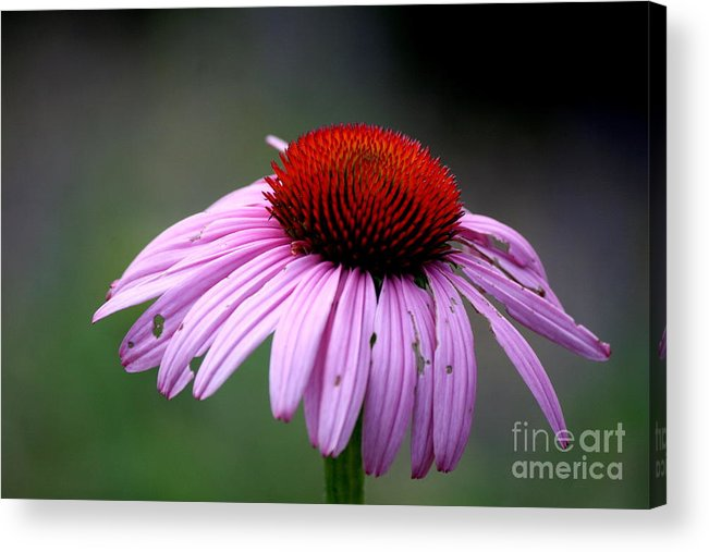 Flower Acrylic Print featuring the photograph Wickham Park Coneflower by Neal Eslinger