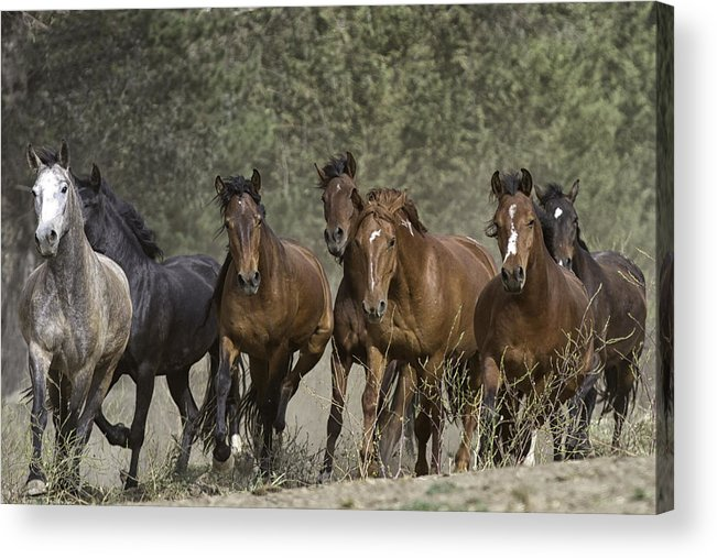 : Mustang Photographs Photographs Acrylic Print featuring the photograph Wild Horse Herd by Meg Frederick