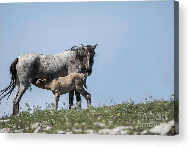Pryor Mountains Acrylic Print featuring the photograph Wild Horses-animals-image-19 by Wildlife Fine Art