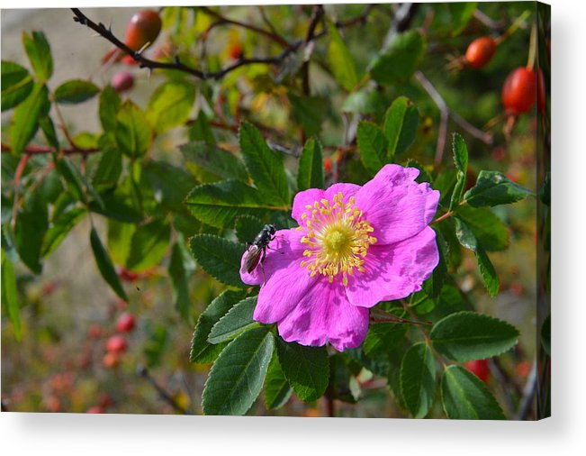 #wild Rose Acrylic Print featuring the photograph Wild Rose 3 by Randy Giesbrecht