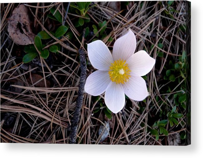 Colorado Acrylic Print featuring the photograph Wildflower Among Pine Needles by Marilyn Burton