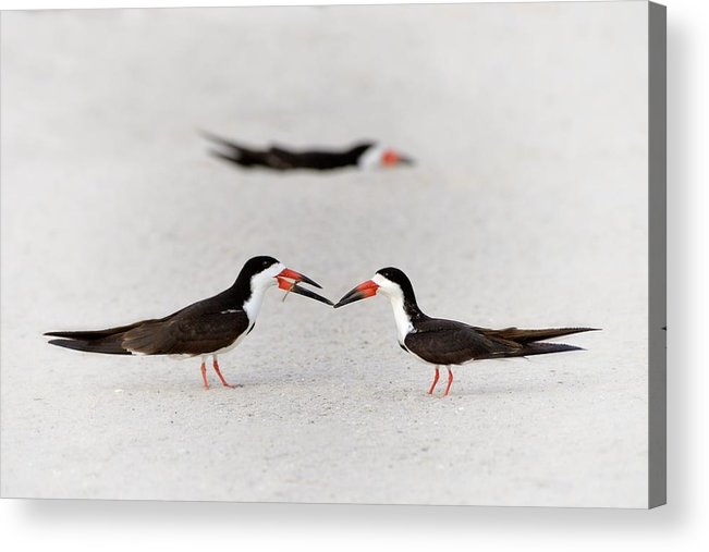 Black Skimmer Acrylic Print featuring the photograph Will You Be Mine? by Don Schroder