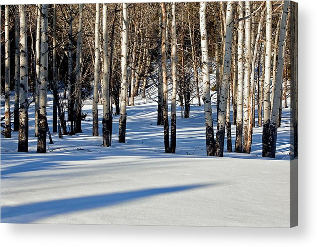 Aspen Trees Acrylic Print featuring the photograph Winter Aspens by Jack Bell