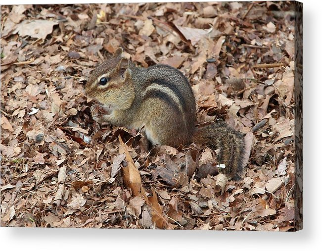 Chipmunk Acrylic Print featuring the photograph Winter Preparations by Paul Golder