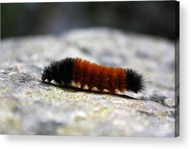 Woolly Bear Caterpillar Acrylic Print featuring the photograph Woolly Bear by Kristy Ollis