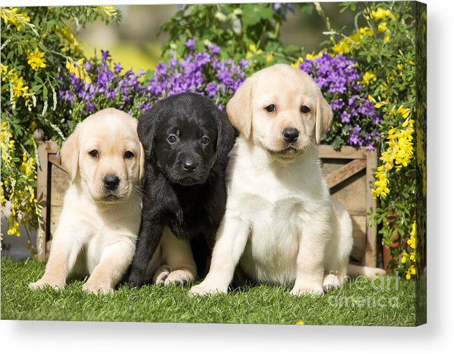 Labrador Retriever Acrylic Print featuring the photograph Yellow And Black Labrador Puppies by Jean-Michel Labat
