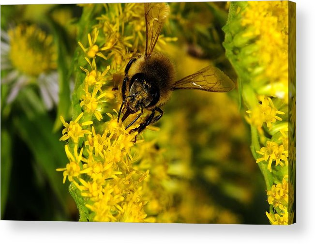 Bee Acrylic Print featuring the photograph Yellow And Green by Photo Advocate