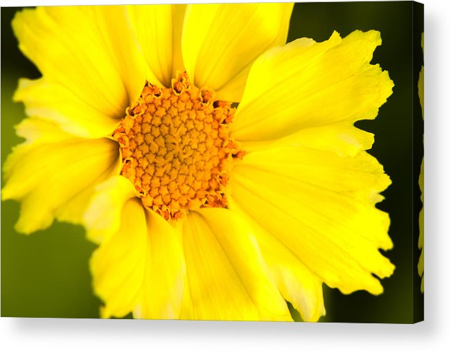 Yellow Acrylic Print featuring the photograph Yellow Cheer by Lindley Johnson