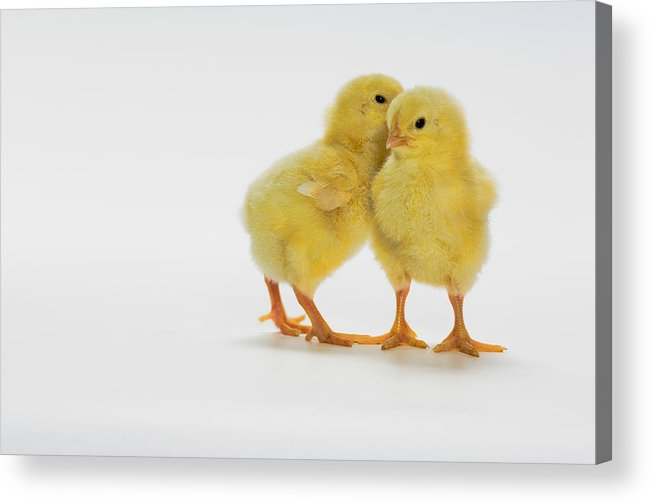Age Acrylic Print featuring the photograph Yellow Chicks. Baby Chickens by Thomas Kitchin & Victoria Hurst