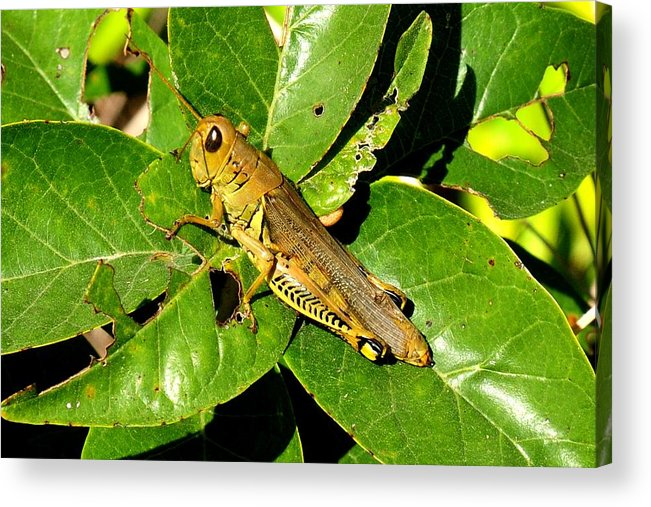 Landscape Acrylic Print featuring the photograph Yellow-green Grasshopper by Marilyn Burton