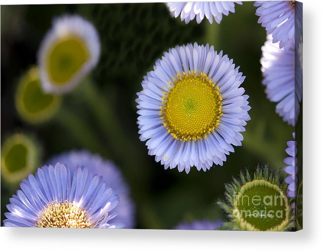 Flowers Acrylic Print featuring the photograph Yellow In The Middle by Artist and Photographer Laura Wrede