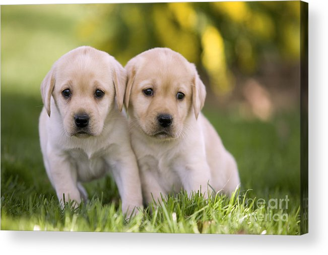 Labrador Retriever Acrylic Print featuring the photograph Yellow Labrador Puppies by Jean-Michel Labat