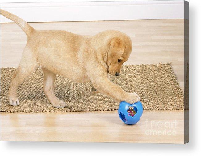Labrador Retriever Acrylic Print featuring the photograph Yellow Labrador Puppy by John Daniels