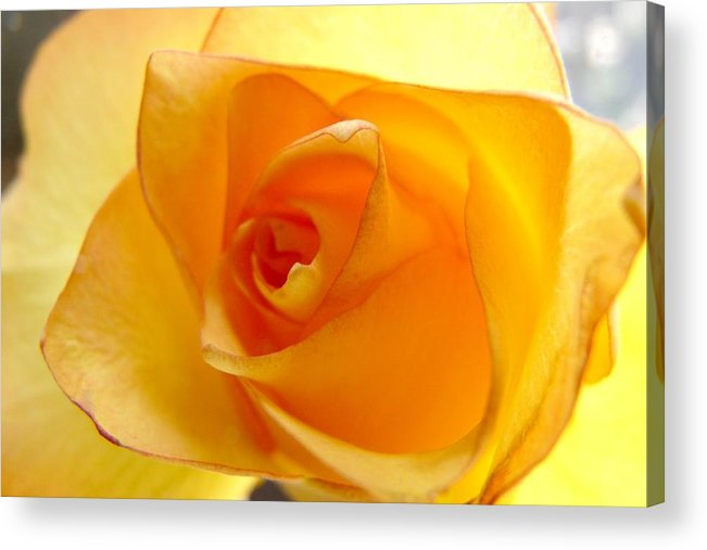 Colorado Acrylic Print featuring the photograph Yellow Orange Rose by Marilyn Burton