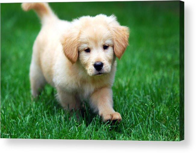Cute Puppy Acrylic Print featuring the photograph You're Only Young Once by Christina Rollo