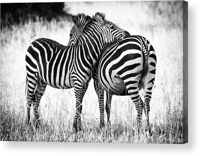 3scape Photos Acrylic Print featuring the photograph Zebra Love by Adam Romanowicz