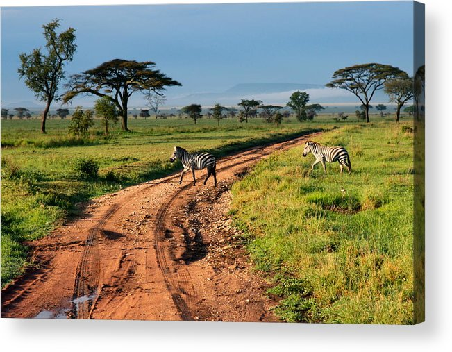 Zebras Acrylic Print featuring the photograph Zebras Cross The Road by Pat Tracey
