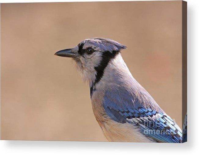 Blue Jay Acrylic Print featuring the pyrography Blue Jay Posing by David Cutts