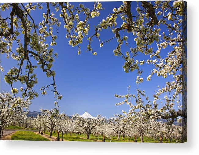 Blue Sky Acrylic Print featuring the photograph Apple Blossom Trees In Hood River by Craig Tuttle
