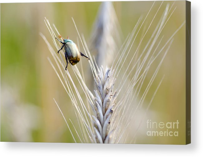 Beetle Acrylic Print featuring the photograph Beetle On The Wheat by Mats Silvan