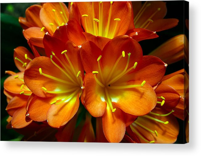 Clivia Miniata Acrylic Print featuring the photograph Clivia Bloom by PIXELS XPOSED Ralph A Ledergerber Photography