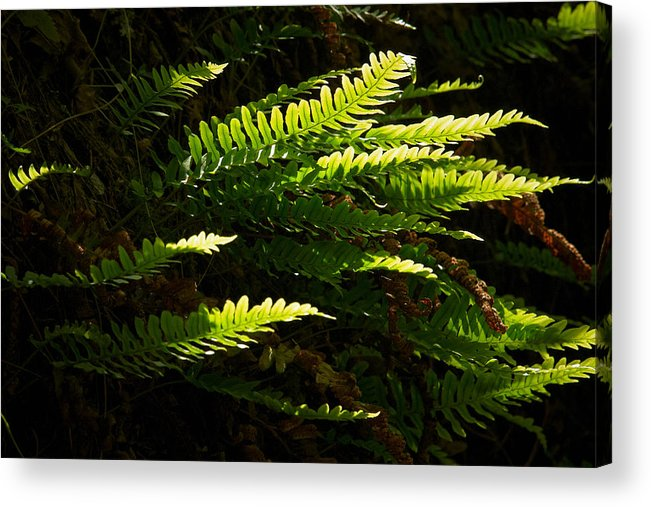 Helvetinjarvi National Park Acrylic Print featuring the photograph Common Polypody by Jouko Lehto