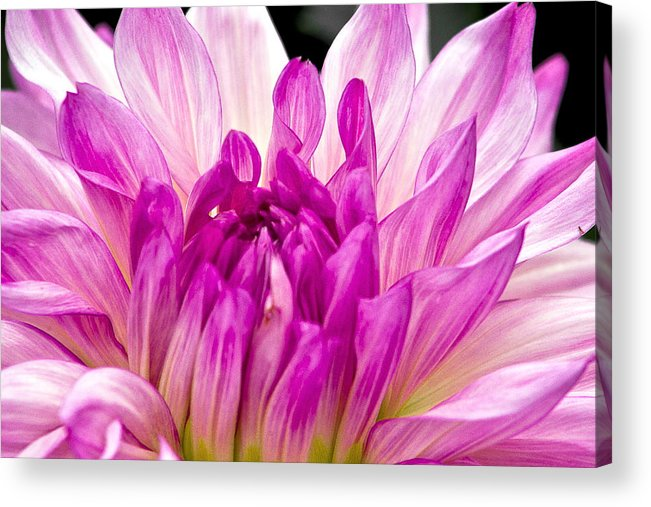 Pink And White Flower Acrylic Print featuring the photograph Flower 11 by Burney Lieberman