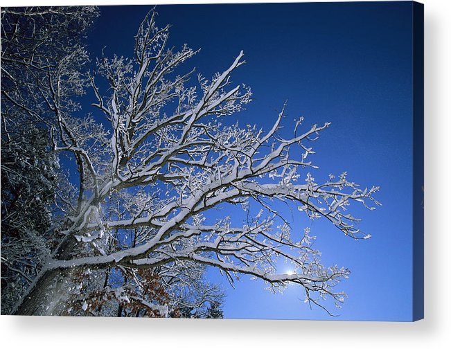 Outdoors Acrylic Print featuring the photograph Fresh Snowfall Blankets Tree Branches by Tim Laman