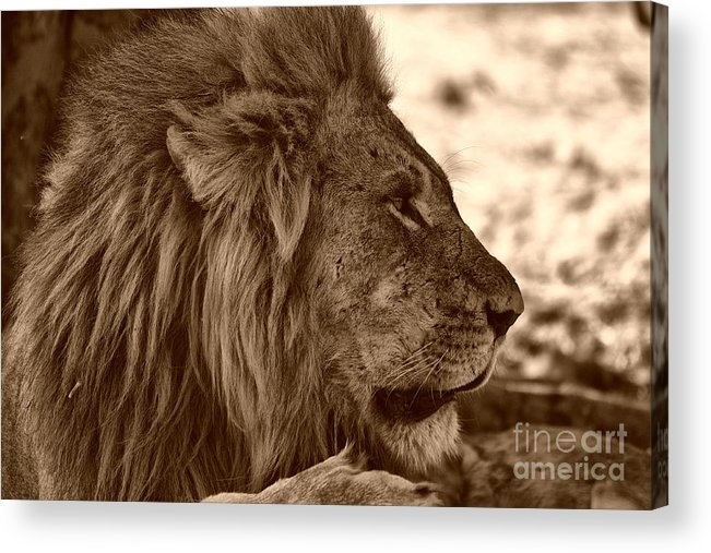 Lion Acrylic Print featuring the photograph lion of Chobe by Mareko Marciniak