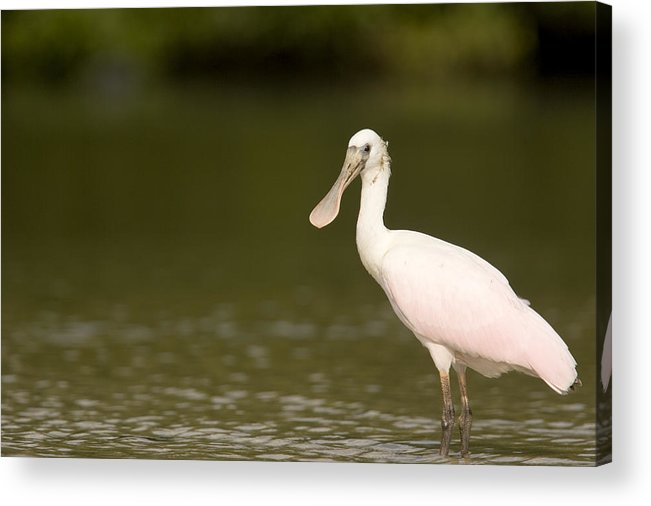 One Animal Acrylic Print featuring the photograph Roseate Spoonbill Ajaia Ajaja by Tim Laman