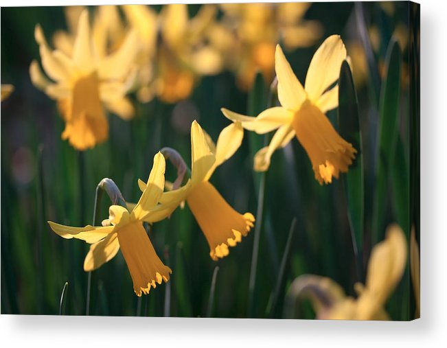 Daffodils Acrylic Print featuring the photograph Spring Time by Shirley Mitchell