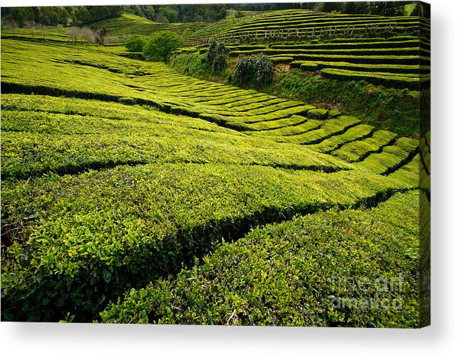 Tea Gardens Acrylic Print featuring the photograph Tea Gardens by Gaspar Avila