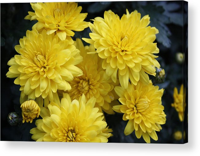Yellow Acrylic Print featuring the photograph Yellow Mums by Nancy TeWinkel Lauren