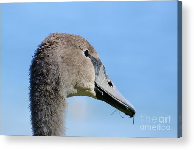 Swan Acrylic Print featuring the photograph Young Swan by Mats Silvan