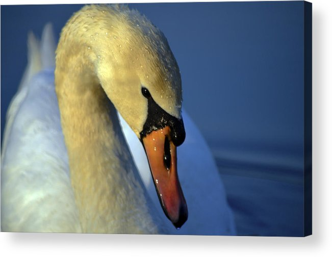 Swans Acrylic Print featuring the photograph Mute Swan by Brian Stevens