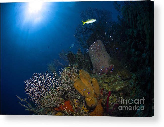 Sea Life Acrylic Print featuring the photograph Coral And Sponge Reef, Belize by Todd Winner