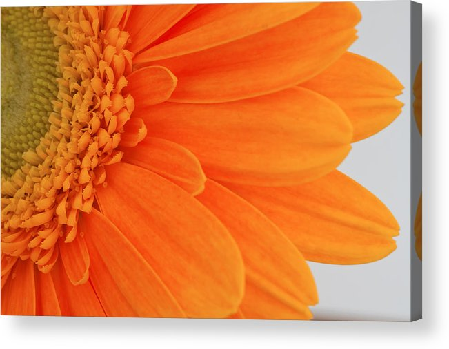 Gerbera Flower Acrylic Print featuring the photograph Gerbera by Shirley Mitchell